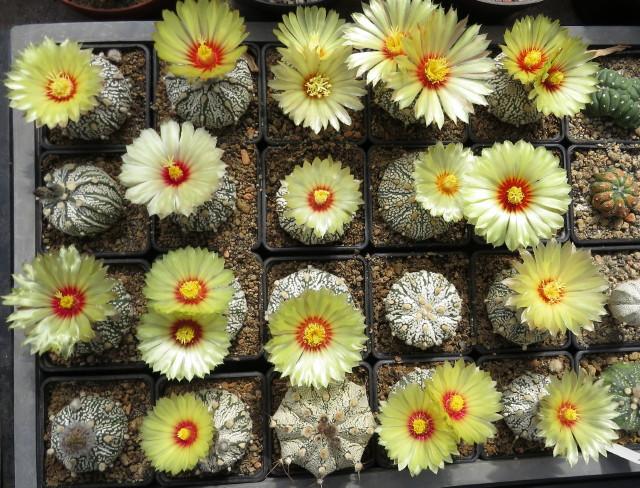 Astrophytum hibridek - kaktusz kiállítás