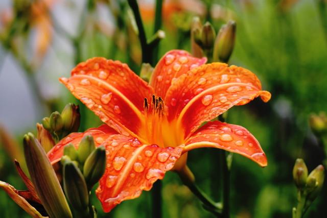 Gardenexpo 2019 - Liliom