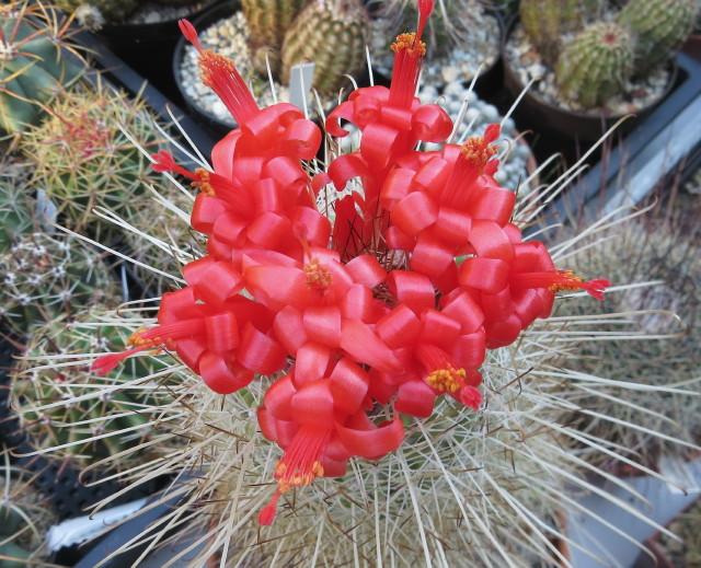 Mamillaria setispina - kaktusz kiállítás