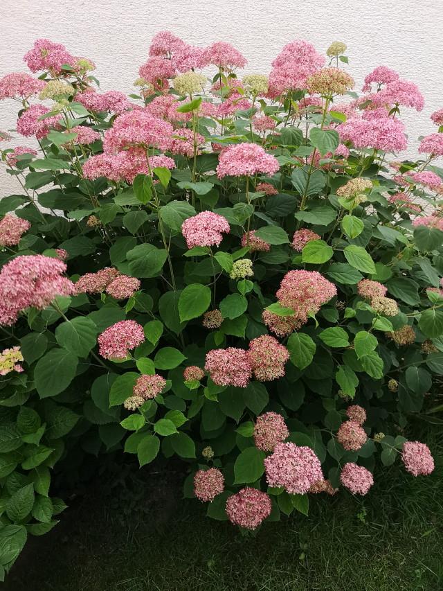 Pink Annabelle hortenzia bokor