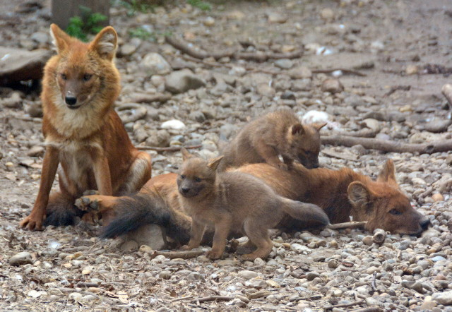 Ázsia vadkutyák - Anyák és kölykeik