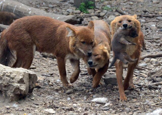 Ázsia vadkutyák - Anya és két lánya