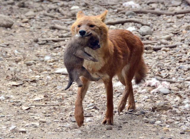 Ázsia vadkutyák - Anya és kölyke