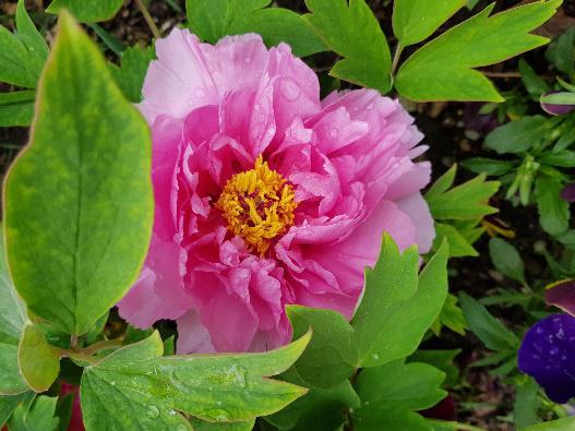 Rózsaszín fás bazsarózsa