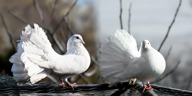 Fehér galambok