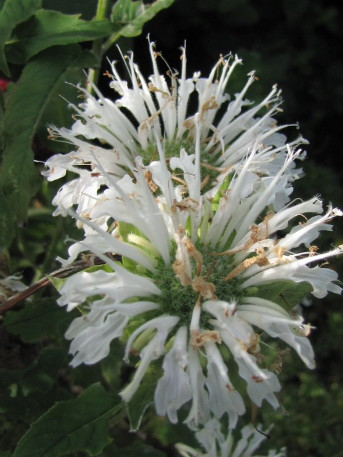 Fehér méhbalzsam
