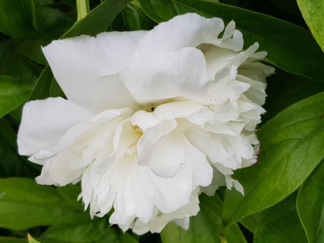 Fehér pümkösdi rózsa