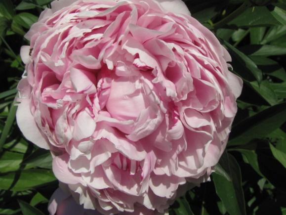 Illatos rózsaszínű P. lactiflora