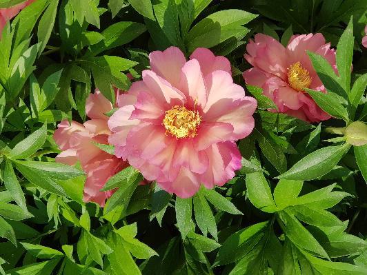Rózsaszín ITOH Pünkösdi rózsa