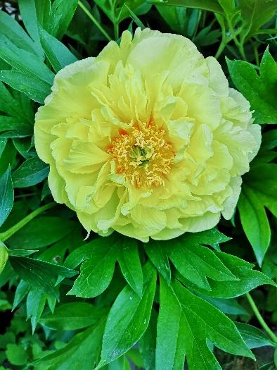 Sárga ITOH Pünkösdi rózsa