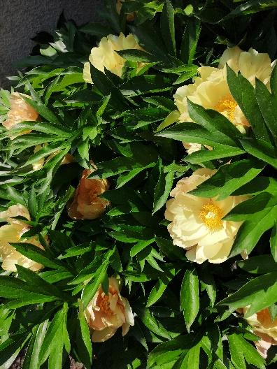 Sárga ITOH Pünkösdi rózsák