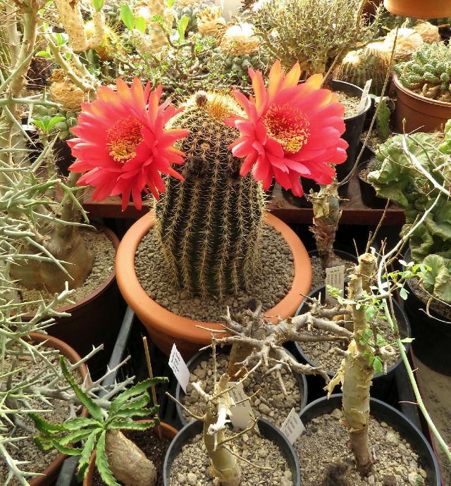 Őszi Országos Kaktuszkiállítás és Vásár