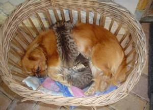 Kutya (pincsi) szoptatta cicák