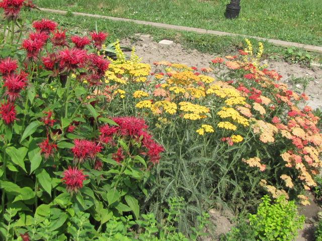 Méhbalzsam (Monarda) a kertben