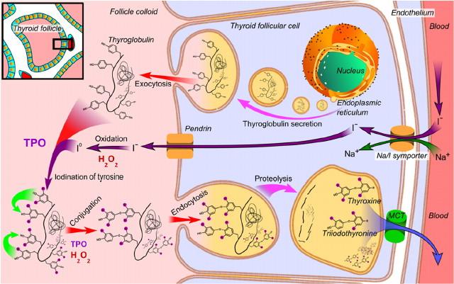 A pajzsmirigyhormonok szintézise a pajzsmirigytüszőben
