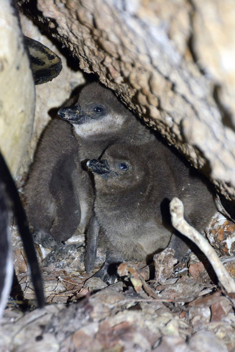 Pápaszemes pingvin