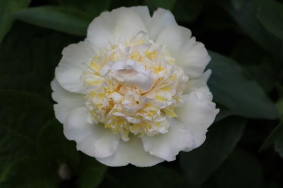Fehér pünkösdi rózsa