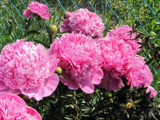 Rózsaszín pünkösdi rózsa