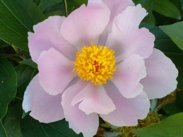 Pünkösdi rózsa virágfej